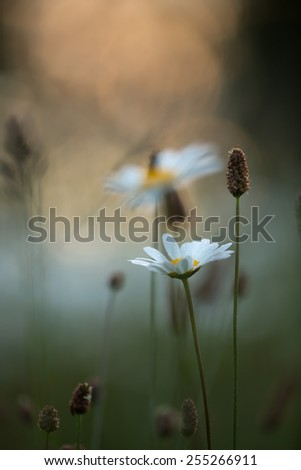 Oxeye daisy, Leucanthemum vulgare, shallow depth of field - stock photo