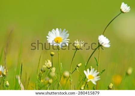 Oxeye daisy, Leucanthemum vulgare, with diffused background of spring buttercups, clover and meadow grass, The Cotswolds, Gloucestershire, United Kingdom - stock photo