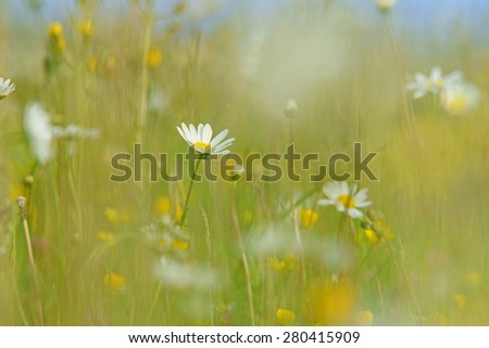 Oxeye daisy, Leucanthemum vulgare, with soft focus and diffused background of spring buttercups, clover and meadow grass, The Cotswolds, Gloucestershire, United Kingdom - stock photo