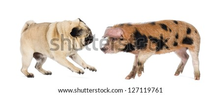 Oxford Sandy and Black piglet, 9 weeks old, playing with a Pug against white background