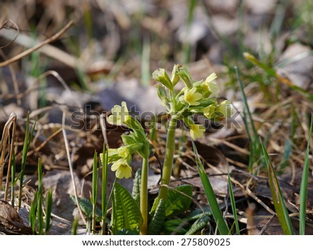 oxlip flowers in spring - stock photo