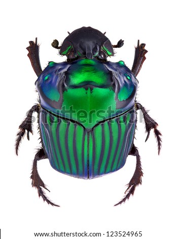 Oxysternon conspicillatum, dung beetle from South America, male specimen - stock photo