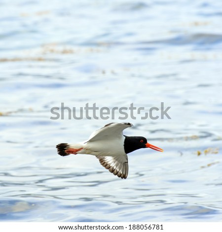 oyster catcher (Haematopus ostralegus) in flight.