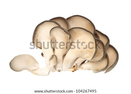 oyster mushroom on white background - stock photo