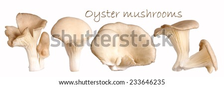 Oyster mushrooms - stock photo