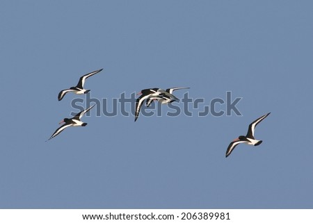 Oystercatchers in flight, against blue sky - stock photo