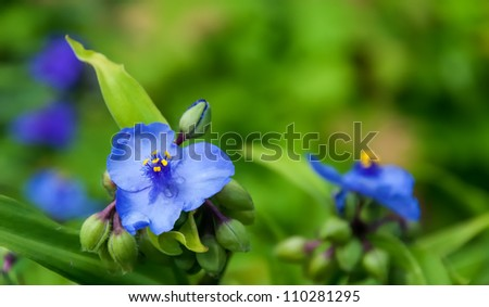 p or Tradescantia virginiana plant in a garden. - stock photo