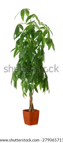 Pachira aquatica a potted plant isolated over white - stock photo