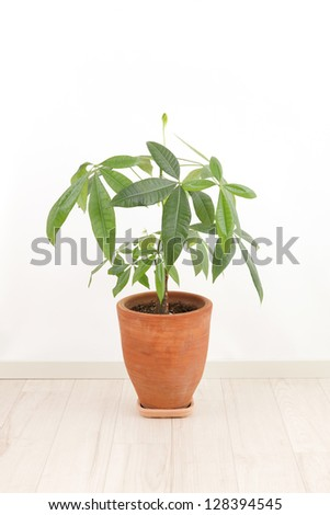 Pachira pots in the room - stock photo