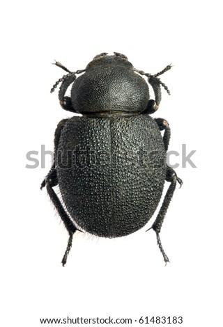 Pachysceles rotundata - stock photo