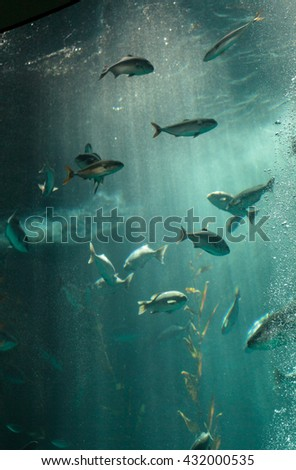 Pacific chub mackerel Scomber japonicus school together in a large aquarium with kelp