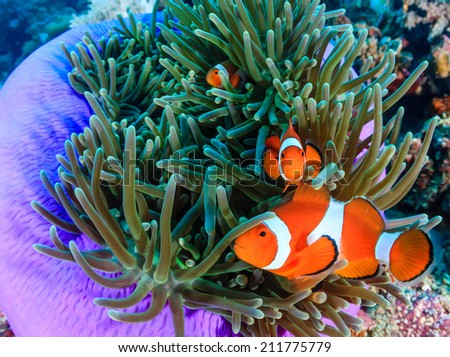 Pacific Clownfish in a colorful purple host anemone - stock photo