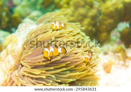 Pacific Clownfish in a colorful purple host anemone, clown fish Nemo in anemone - stock photo