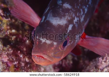 Pacific creole fish, Paranthias colonus, in the Sea of Cortez - stock photo