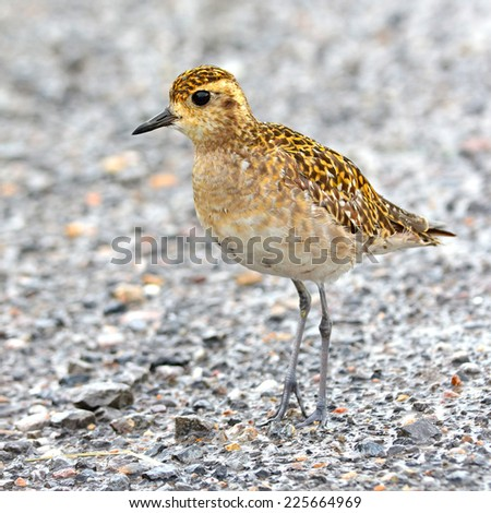 Pacific Golden-Plover (Pluvialis fulva), Bird of Thailand - stock photo