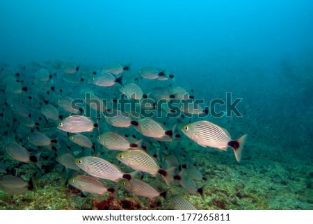Pacific grunts schooling in the Pearl islands - stock photo