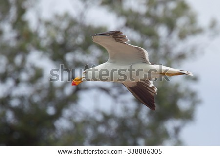 Pacific gull (Larus pacificus) in flight at the shore of Lake King in Lakes Entrance, Victoria, Australia.