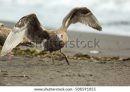 Pacific Gull on the shore of Ocean.