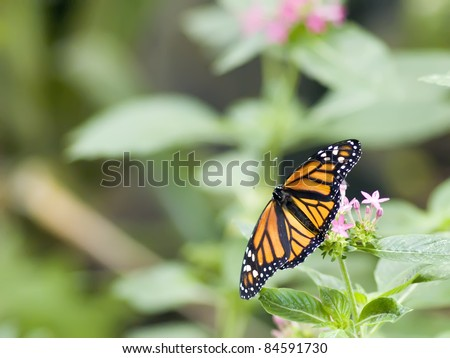 Pacific Northwest Flutterby - stock photo