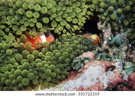 Pacific Ocean, Fiji Islands, U.W. photo, Clownfish (Amphiprion melanopus) and Anemonefish - FILM SCAN - stock photo