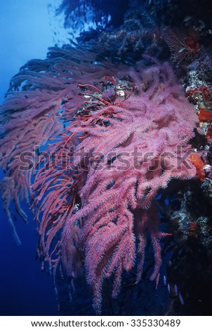 Pacific Ocean, Fiji Islands, U.W. photo, soft corals and tropical red gorgonians on the coral reef wall - FILM SCAN - stock photo