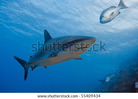 Pacific ocean. Grey reef and Whitetip sharks over coral reef. - stock photo