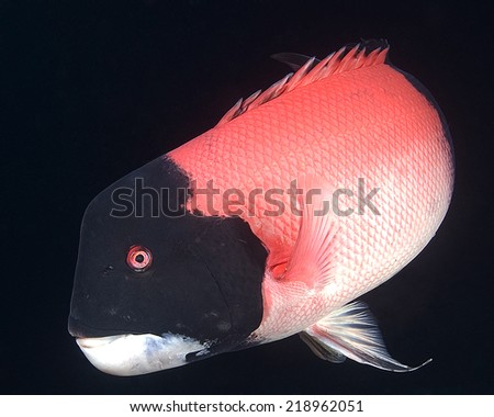 Pacific Ocean Underwater Fish and Nudibranchs - stock photo