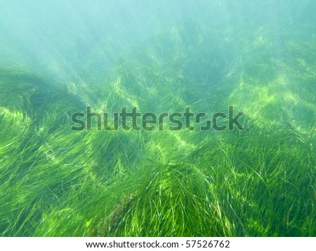 Pacific ocean underwater seagrass at La Jolla Cove in San Diego, California. - stock photo