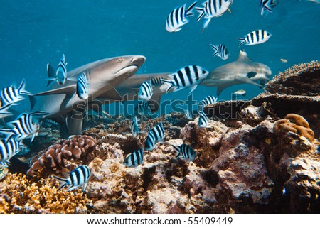 Pacific ocean. Whitetip sharks over coral reef. - stock photo