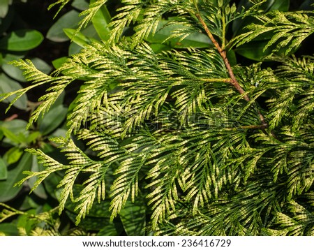 Pacific redcedar (Thuja plicata) is a species of Thuja, an evergreen coniferous tree in the cypress family Cupressaceae native to western North America - stock photo