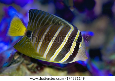 Pacific Sailfin Tang, Zebrasoma veliferum - stock photo