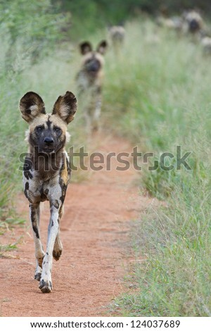 Pack of African Wild dogs - stock photo