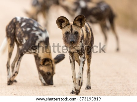 Pack of african wild dogs Kruger Park South Africa - stock photo