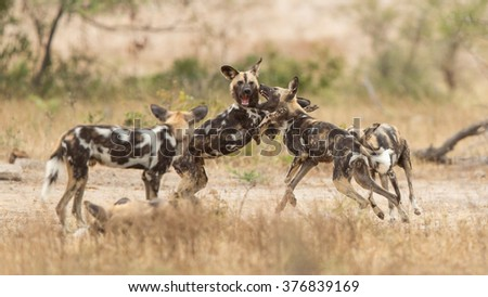 Pack of african wild dogs playing in the Kruger Park South Africa - stock photo