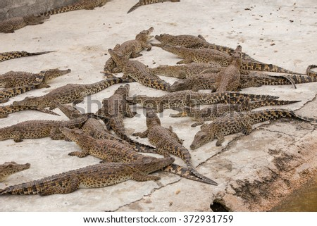 pack of crocodiles - stock photo