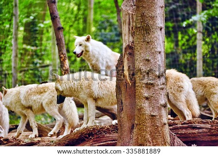 Pack of gray wolves (canis lupus) in its natural habitat. - stock photo