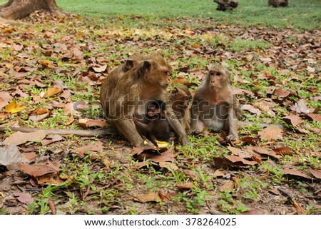 Pack of monkeys on vacation. Mother feeds the child. Cambodia.
