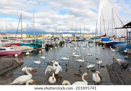 Pack of swans on the lake in Geneva, Switzerland - stock photo