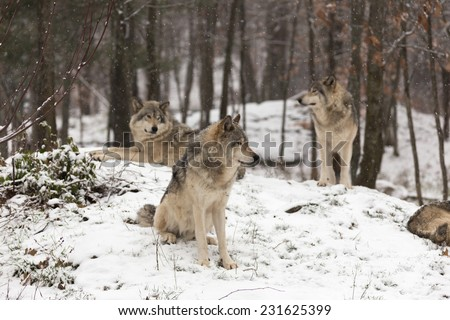 Pack of Timber wolves - stock photo