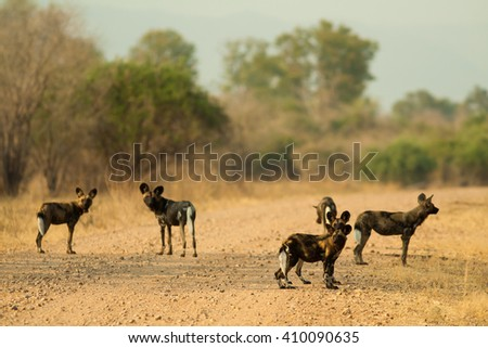 Pack of wild African wild dogs - stock photo