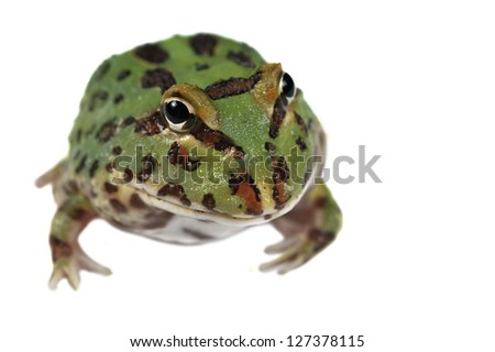 Pacman frog Ceratophrys ornata isolated on white