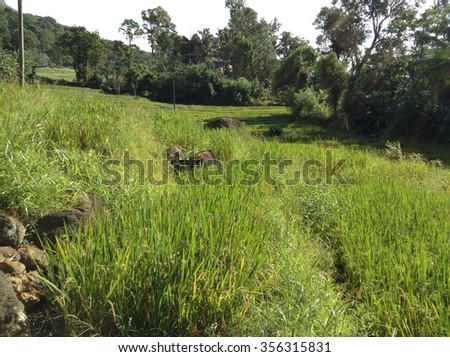 Paddy Field - stock photo