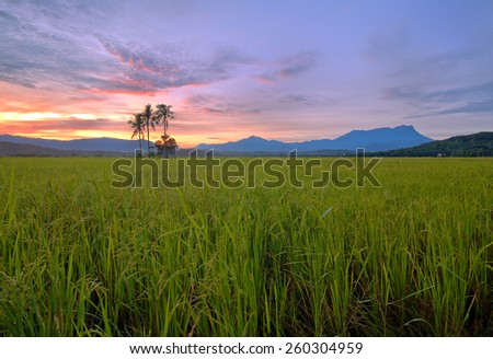 paddy field, colorful sunrise with mount Kinabalu at Sabah, Borneo, Malaysia Image has grain or blurry or noise and soft focus when view at full resolution.  (Shallow DOF, slight motion blur) - stock photo