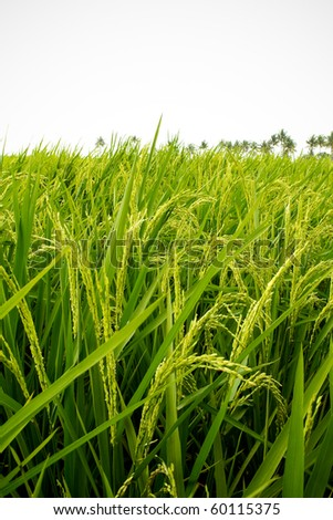 Paddy field in Asian country