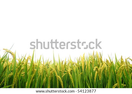 Paddy field in autumn - stock photo