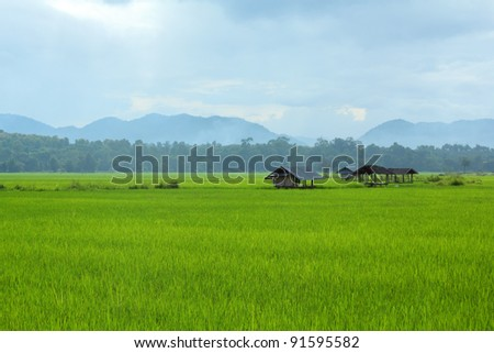 paddy field of Thailand - stock photo