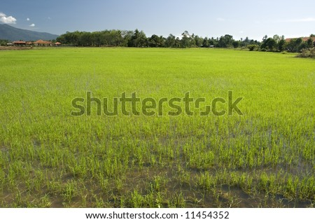 paddy field scenery at rural area with a clear sky
