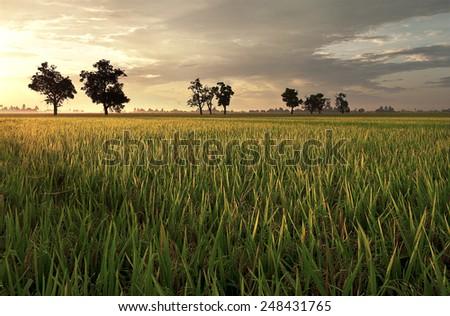paddy field sekinchan - stock photo