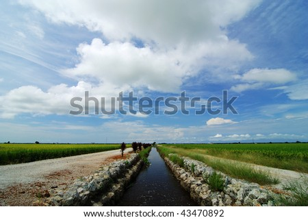 Paddy field with blue sky and white clouds