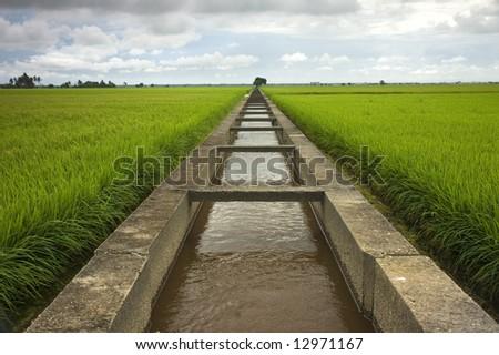 paddy fields - stock photo